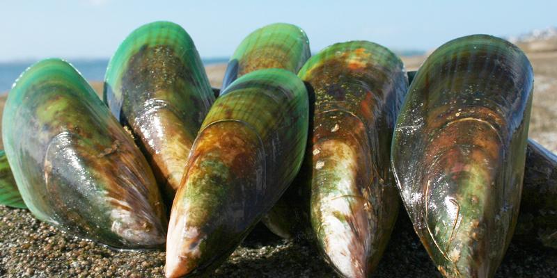 バイオレーンはニュージーランド緑イ貝の原料です。