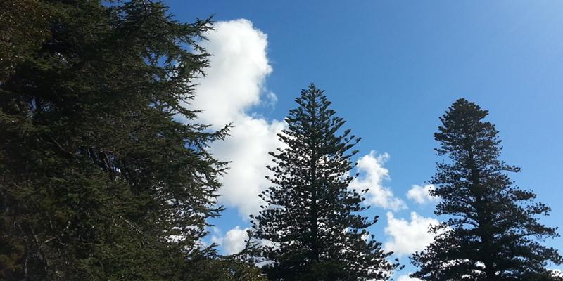 「カルテノール」はニュージーランド松樹皮エキス末も含むサプリメントです。